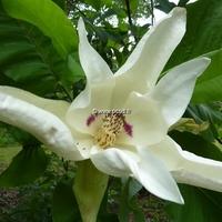 Magnolia macrophylla 60/100 C4L