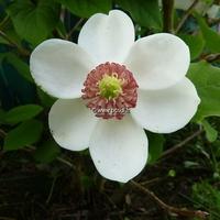 Magnolia sieboldii 40/60 C4/5L