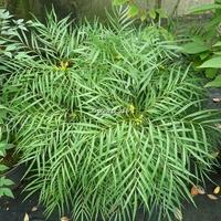 Mahonia eurybracteata 'Soft Caress' ® 30/40 C4L