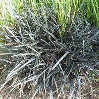 Ophiopogon planiscapus 'Nigrescens' C3L