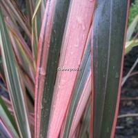 Phormium 'Pink Panther' 30/40 C3L