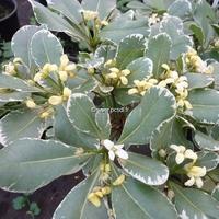 Pittosporum tobira 'Variegatum' 30/40 C3L