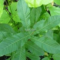 Quercus acutissima 100/125 C4L