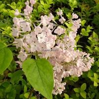 Syringa x hyacinthiflora 'Maiden's Blush' 40/50 C3,5L