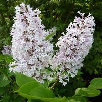 Syringa pubescens ssp. patula 'Miss Kim' 40/60 C4L