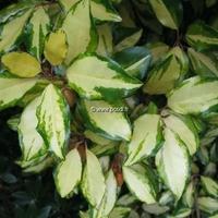 Elaeagnus x ebbingei 'Gold Splash' 30/40 C4L