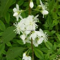 Hoheria angustifolia 'Borde Hill' 40/60 C4L