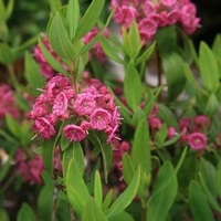 Kalmia angustifolia 'Rubra' 30/40 C3L