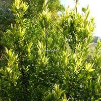 Laurus nobilis 'Aurea' 40/60 C4L
