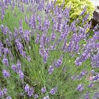 Lavandula angustifolia 20/30 C3L