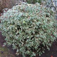 Prunus lusitanica 'Variegata' 30/40 C4L