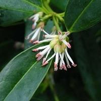 Sarcococca orientalis 30/40 C3L
