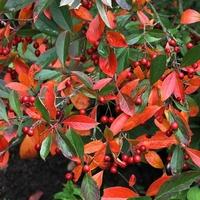 Aronia x prunifolia 'Brilliant' 80/100 C4L