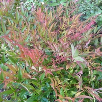 Nandina domestica 'Moon Bay' ® 20/30 C4L
