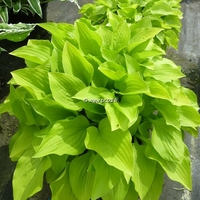 Hosta 'Wogon Gold' C3L