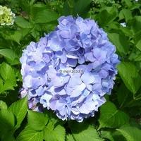 Hydrangea macrophylla 'Enziandom' 20/40 C4L