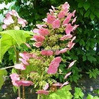 Hydrangea quercifolia 'Amethyst'