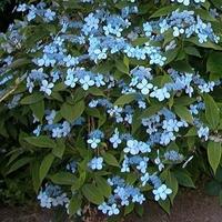 Hydrangea serrata 'Diadem' 20/40 C4L