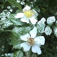 Rosa wichuriana 'Variegata' 40/60 C4L