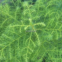 Cryptomeria japonica 'Elegans Viridis' 40/50 C4L