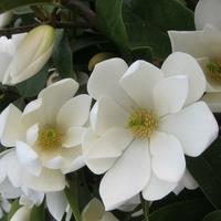Magnolia 'Fairy Cream' ® 30/40 C4L