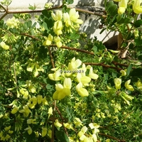 Coronilla valentina ssp. glauca 'Citrina' 30/40 C3L