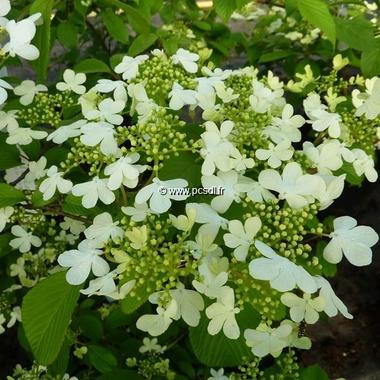 Viburnum plicatum tomentosum Watanabe (2)