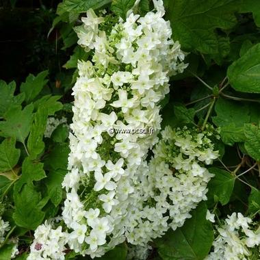 Hydrangea quercifolia Snowflake (6)