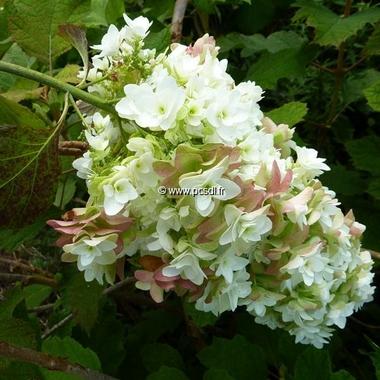 Hydrangea quercifolia Snowflake (10)