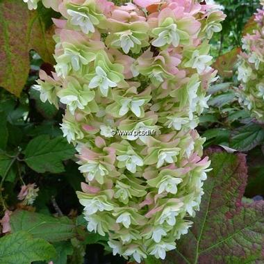 Hydrangea quercifolia Snowflake (21)