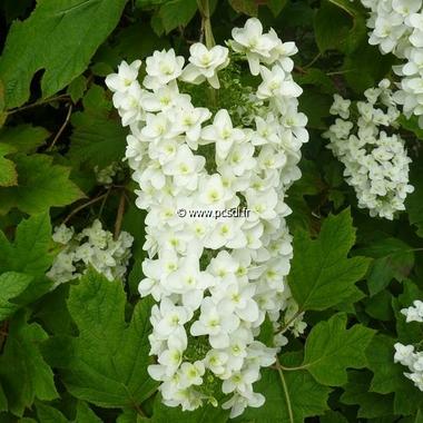 Hydrangea quercifolia Snowflake (22)