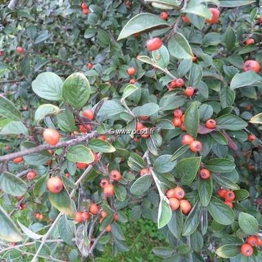 Cotoneaster franchetii (2)