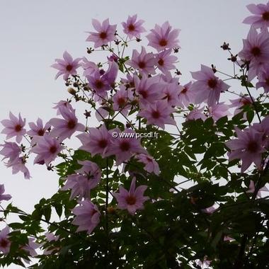 Dahlia imperialis (3)