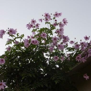 Dahlia imperialis (1)