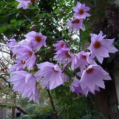 Dahlia imperialis (2)