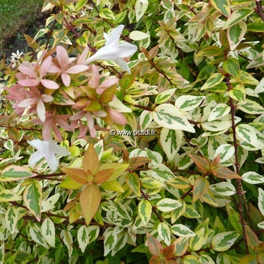 Abelia grandiflora Kaleidoscope (1)