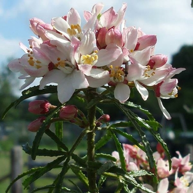 Choisya Apple Blossom (1)