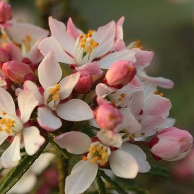 Choisya Apple Blossom (2)