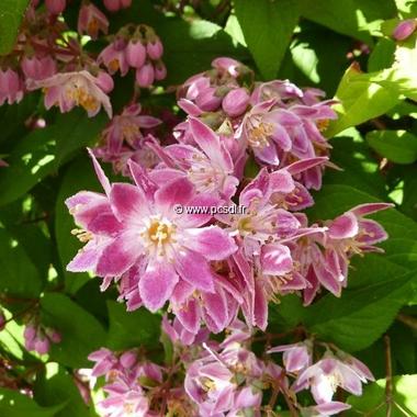 Deutzia hybrida Perle Rose (6)