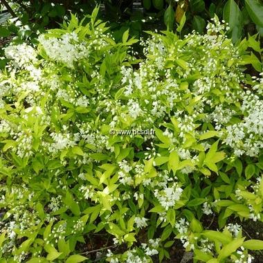 Deutzia gracilis Aurea (4)