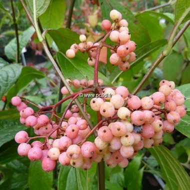 Viburnum nudum Pink Beauty (1)