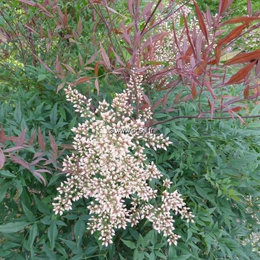 Nandina domestica Plum Passion (7)