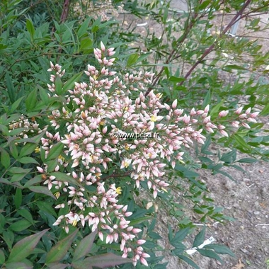 Nandina domestica Plum Passion (5)