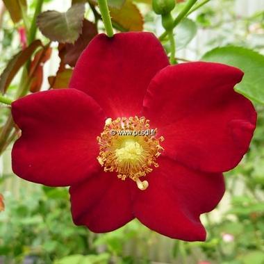 Rosa Eva (2)