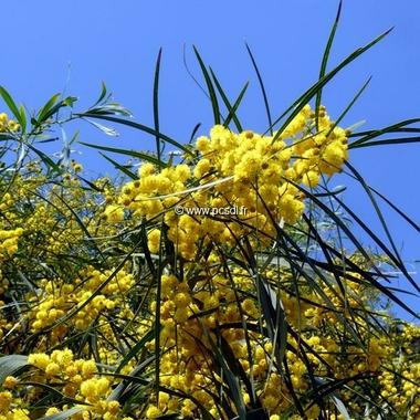 Acacia retinodes (1)