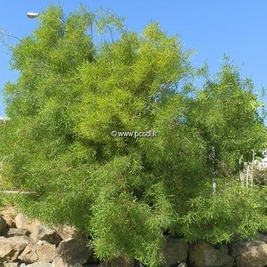 Acacia retinodes (2)