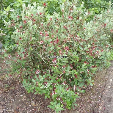 Acca sellowiana (4)