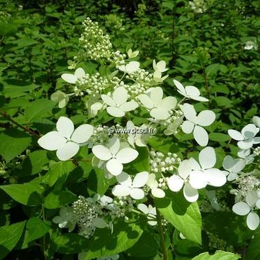 Hydrangea paniculata Confetti (2)