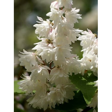 deutzia%20pride%20of%20rochester
