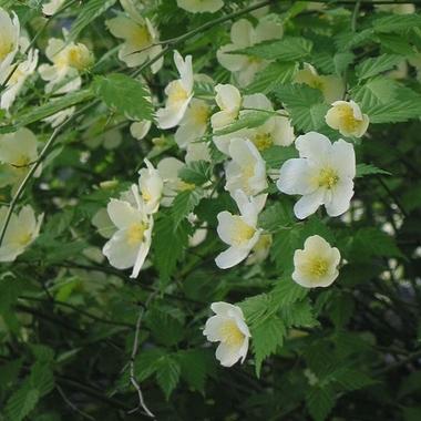Kerria japonica Albescens